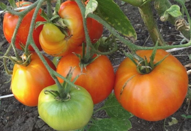 Томат курносик: особенности сорта, описание, урожайность, отзывы