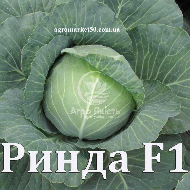 Выращиваем капусту сорта «атрия f1»: секреты хорошей всхожести