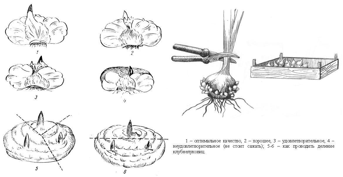 Надо ли обрезать корни у луковиц гладиолусов при подготовке к хранению? / асиенда.ру