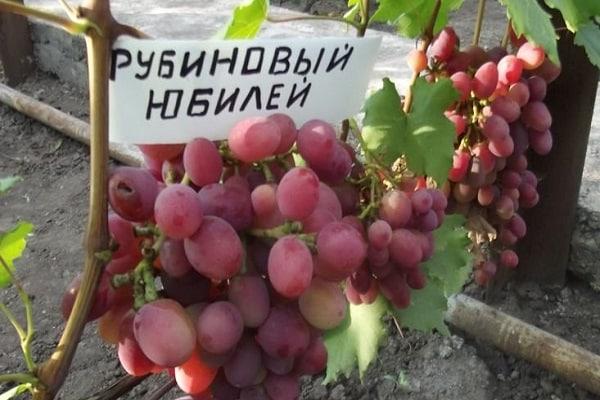 """Виноград """"рубиновый юбилей"""": описание сорта, фото, отзывы"""
