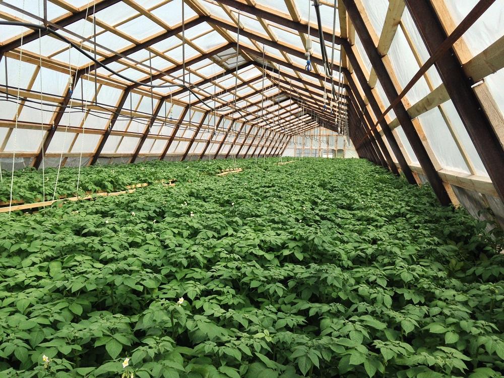 Как вырастить хороший урожай картофеля в домашних условиях: технология и разные способы
