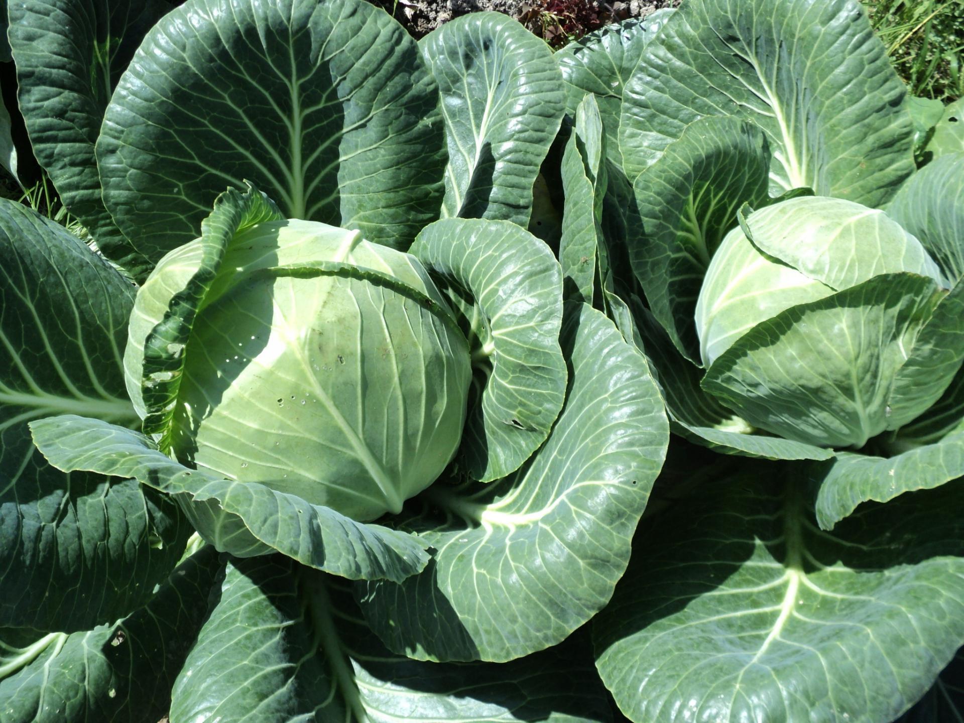 Обзор характеристик и описание гибрида капусты ринда f1, выращивание и уход