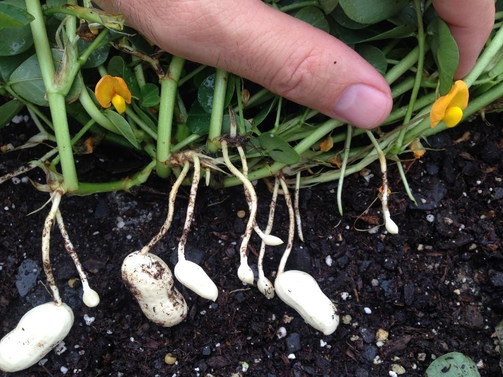 ᐉ растение арахис: выращивание в открытом грунте, фото, как вырастить в украине и россии, посадка - roza-zanoza.ru