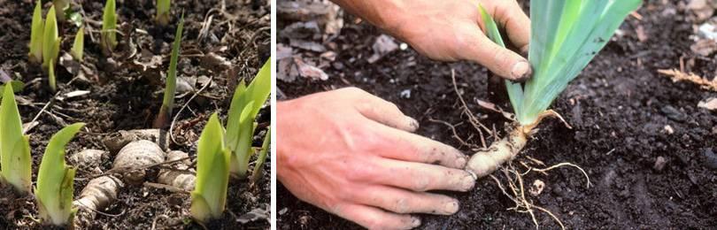 Посадка луковичных ирисов + выращивание и уход за ними