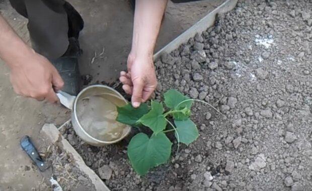 Как и когда правильно высаживать рассаду огурцов в открытый грунт