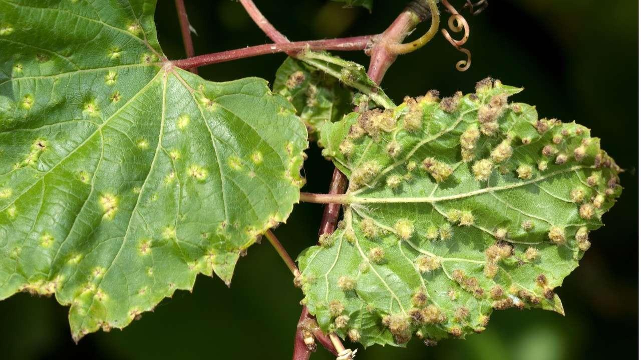 Культура винограда на песках и других неблагоприятных для филлоксеры почвах