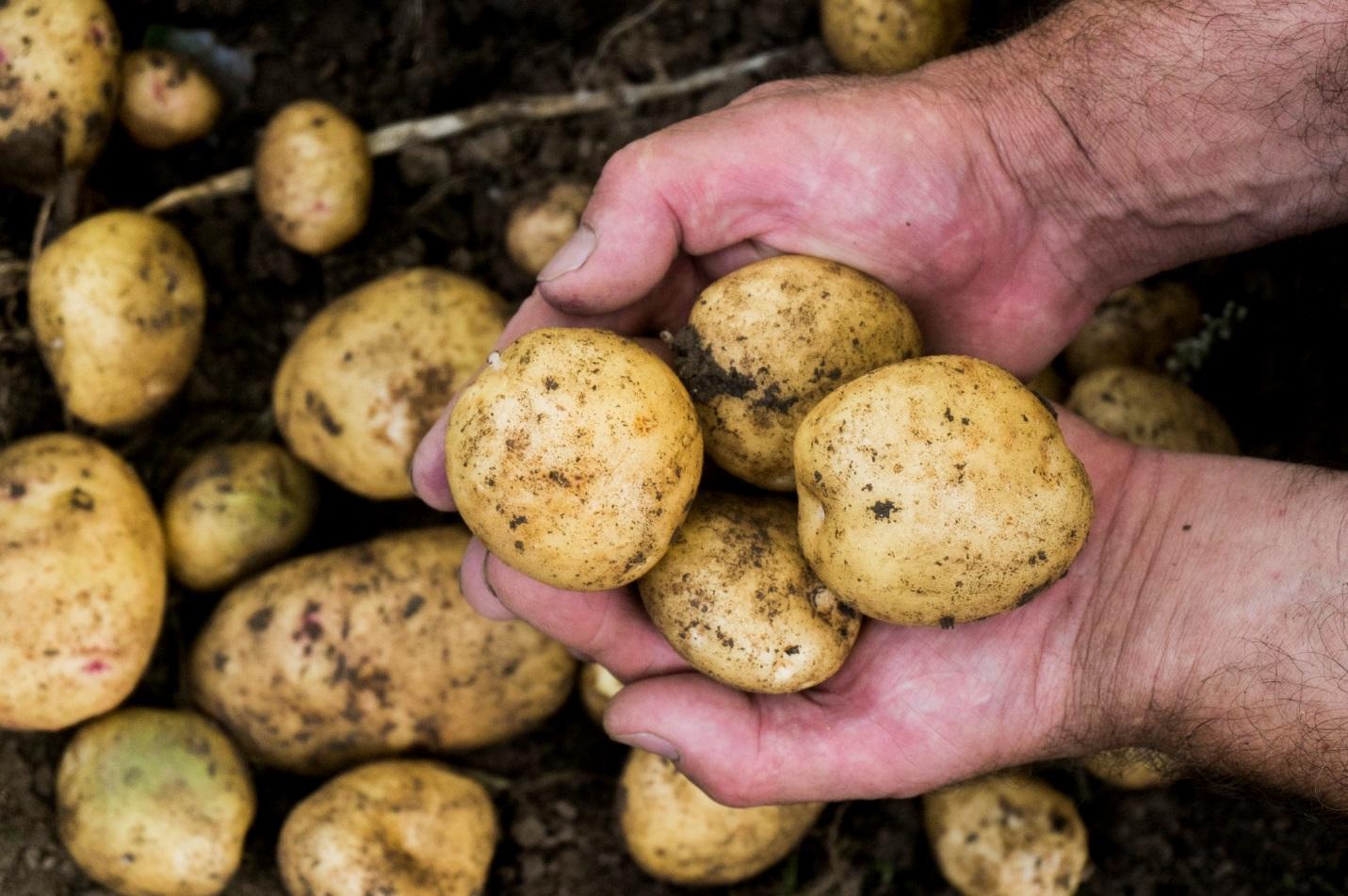 Лучшие сорта картофеля в белоруссии