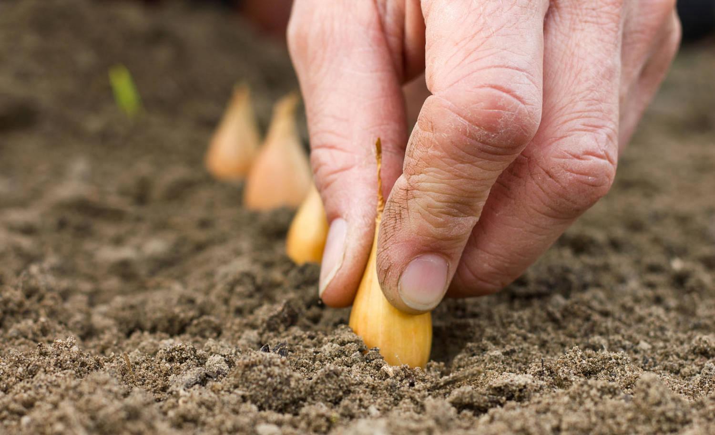 Агротехника выращивания пастернака из семян на своем огороде