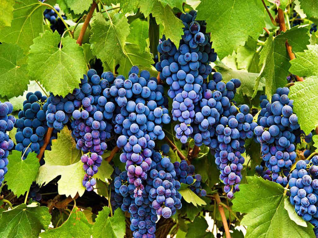 Виноград саперави: описание сорта с характеристикой и отзывами, особенности посадки и выращивания, фото