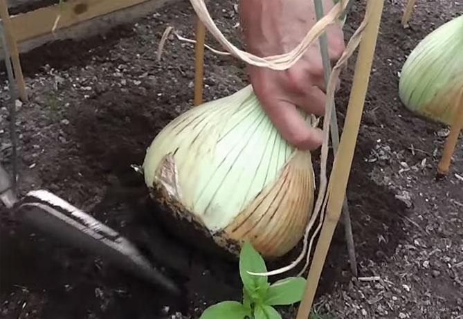 Выращивание лука эксибишен из семян: когда и как сажать на рассаду в домашних условиях