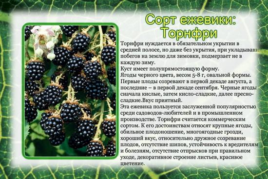 Ежевика торнфри: описание сорта и особенности ухода