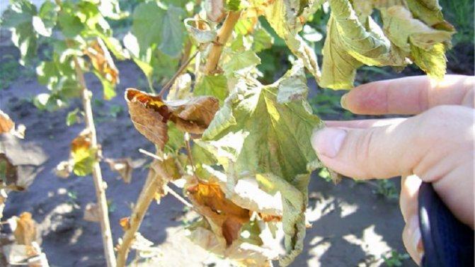 Что делать у смородины сохнут листья - видео