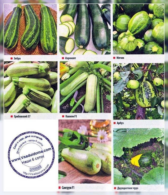 Виды и сорта кабачков (58 фото): как выбрать семена, высокоурожайные и необычные разновидности, видео