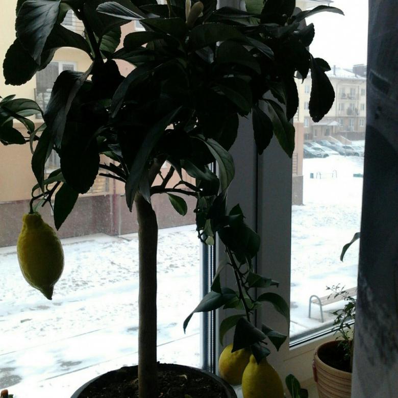 Лимон лунарио: уход в домашних условиях, описание сорта — selok.info