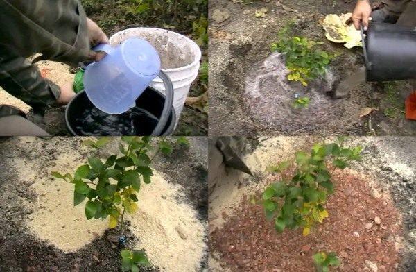 Как и чем удобрять голубику, как правильно подкислить почву