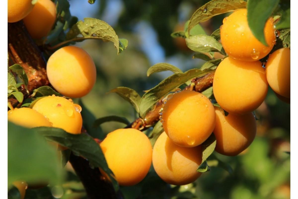 Алыча царская: описание сорта, фото и отзывы, особенности посадки и выращивания