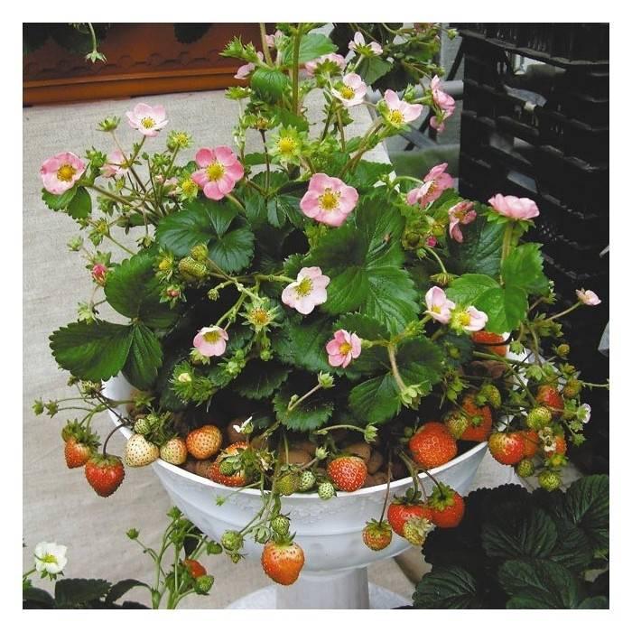 Как вырастить клубнику из семян в домашних условиях на рассаду