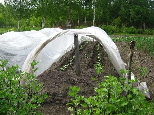 Выращивание огурцов под пленкой