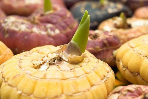 Как посадить гладиолусы осенью в грунт? рекомендации по уходу