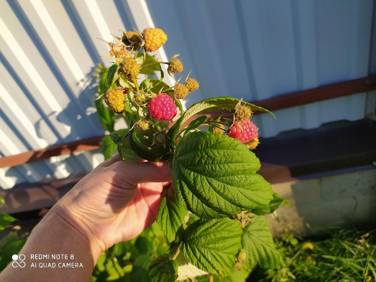 Малина сорт бабье лето: описание, фото, отзывы