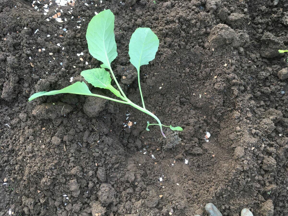 Рассада капусты: выращивание и уход в домашних условиях, видео
