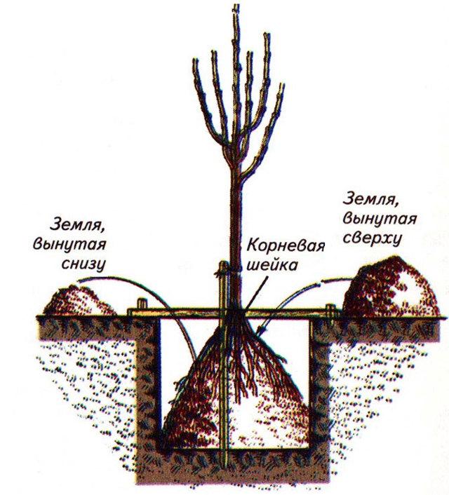 Яблоня спартан – описание, как цветет, достоинства и недостатки, основные характеристики