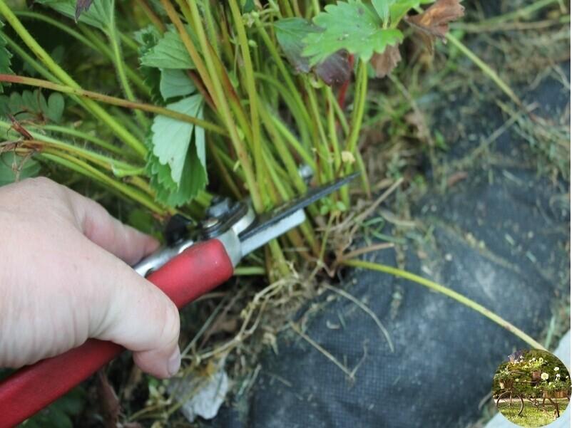 Когда лучше обрезать клубнику и нужно ли это делать после плодоношения