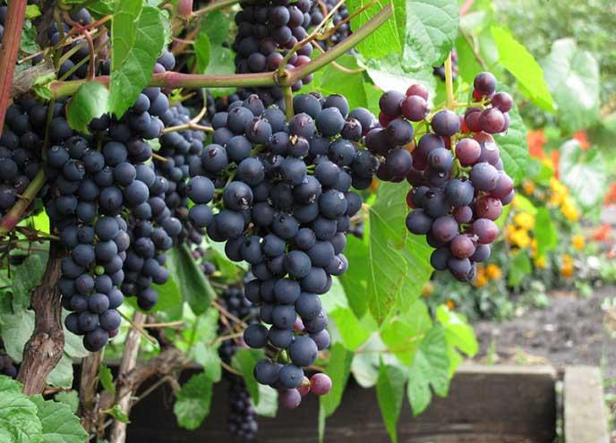 Всё о сорте винограда «памяти учителя» от особенностей выращивания до фото и отзывов о нём