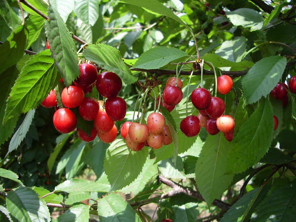 Черешня любимица астахова: описание сорта и опылители, посадка и уход с фото