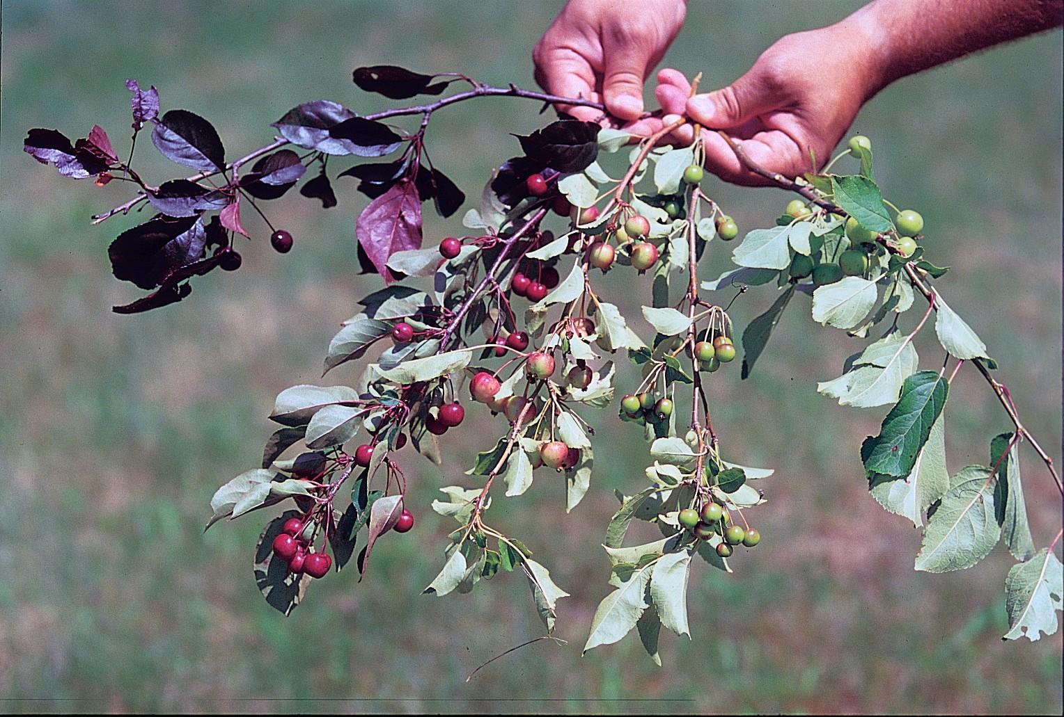 Описание сорта яблони маньчжурская: фото яблок, важные характеристики, урожайность с дерева