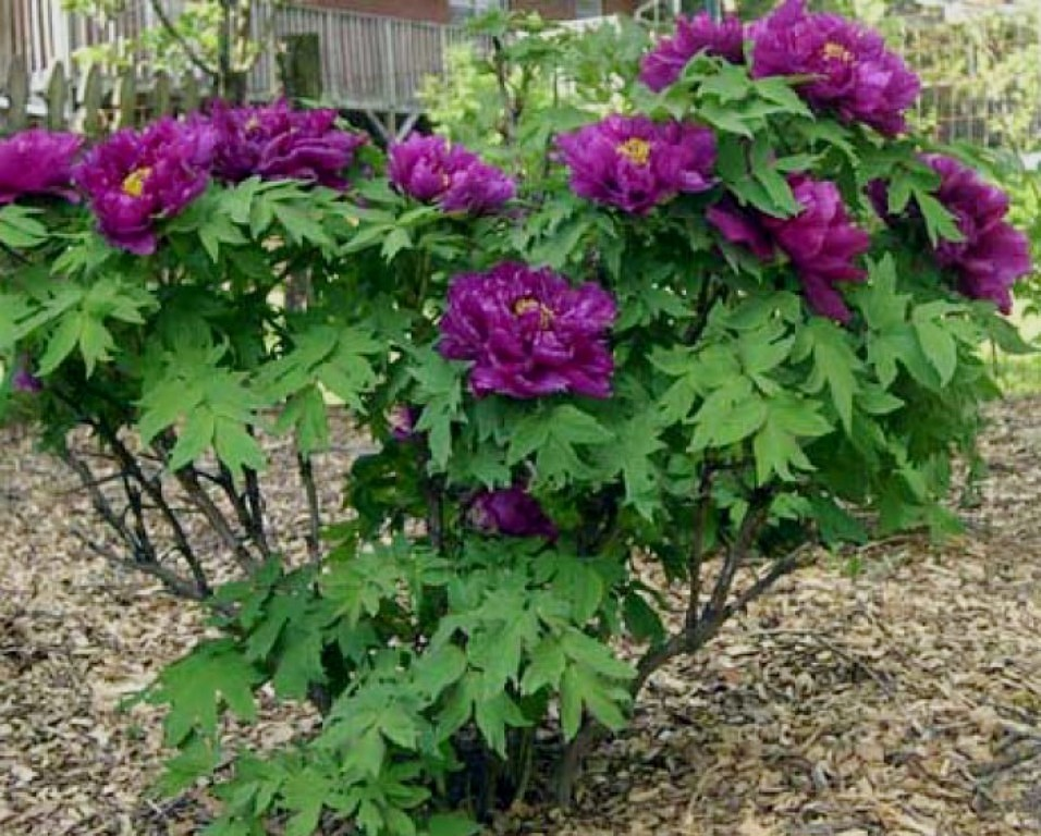 Древовидный пион: посадка и уход, фото, выращивание и сорта
