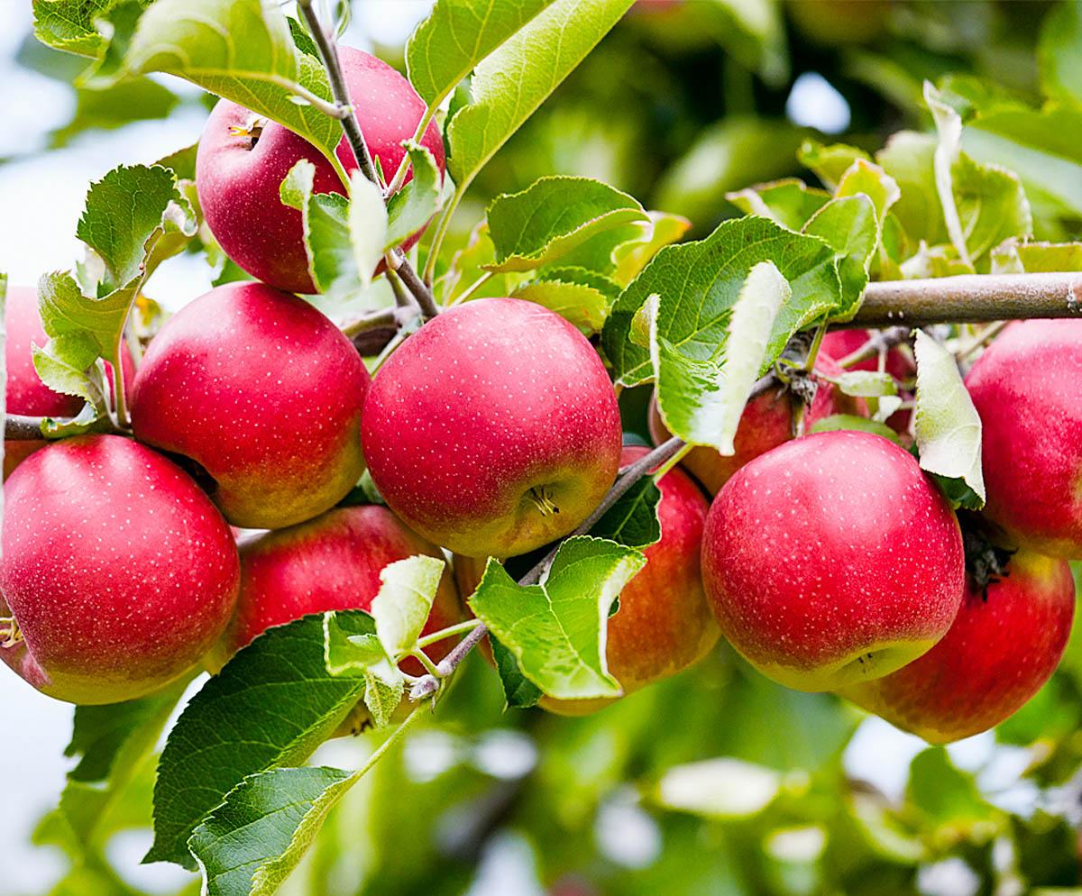 Яблоня беркутовское: описание сорта, фото, отзывы