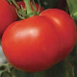 Томат стрега отзывы фото урожайность