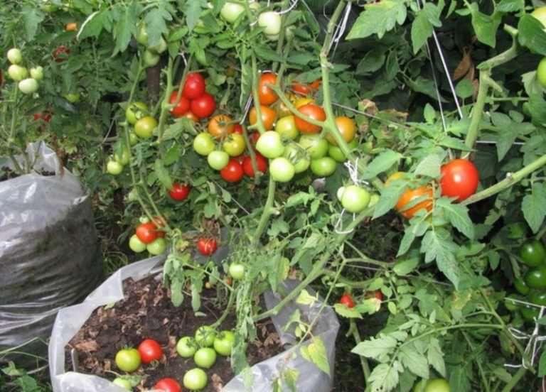 Выращивание помидор в теплице: пошаговая инструкция