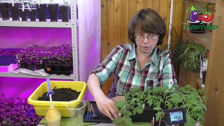 Пикировка рассады томатов ганичкина