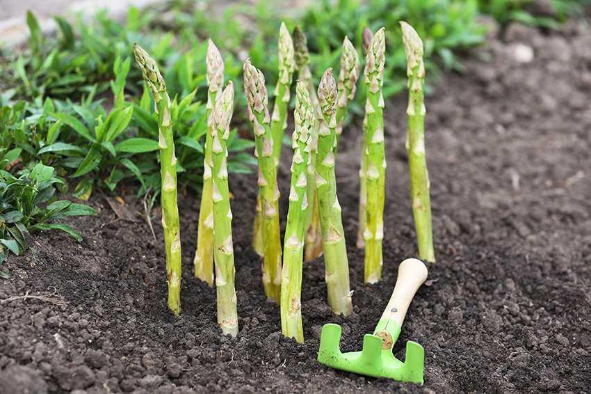 Спаржа - что это за растение, как готовить соевый продукт и лучшие рецепты из зеленых ростков