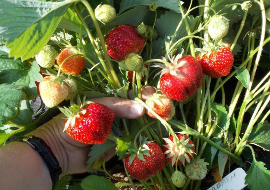 Описание и характеристики сорта клубники ирма, выращивание и размножение - всё про сады