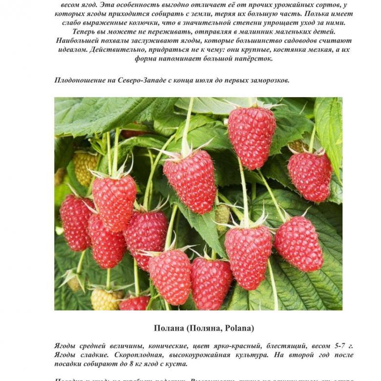 Описание малины сорта Полька, урожайность, посадка и уход