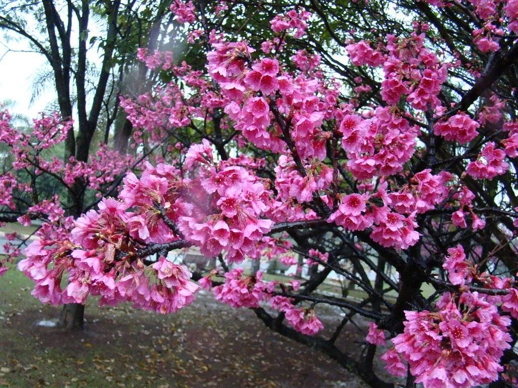 Японская вишня сакура, виды, сорта с фото, уход
