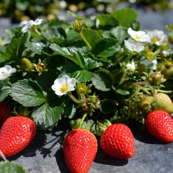 Земляника садовая (клубника) мара де буа: отзывы, описание сорта, фото - мы дачники
