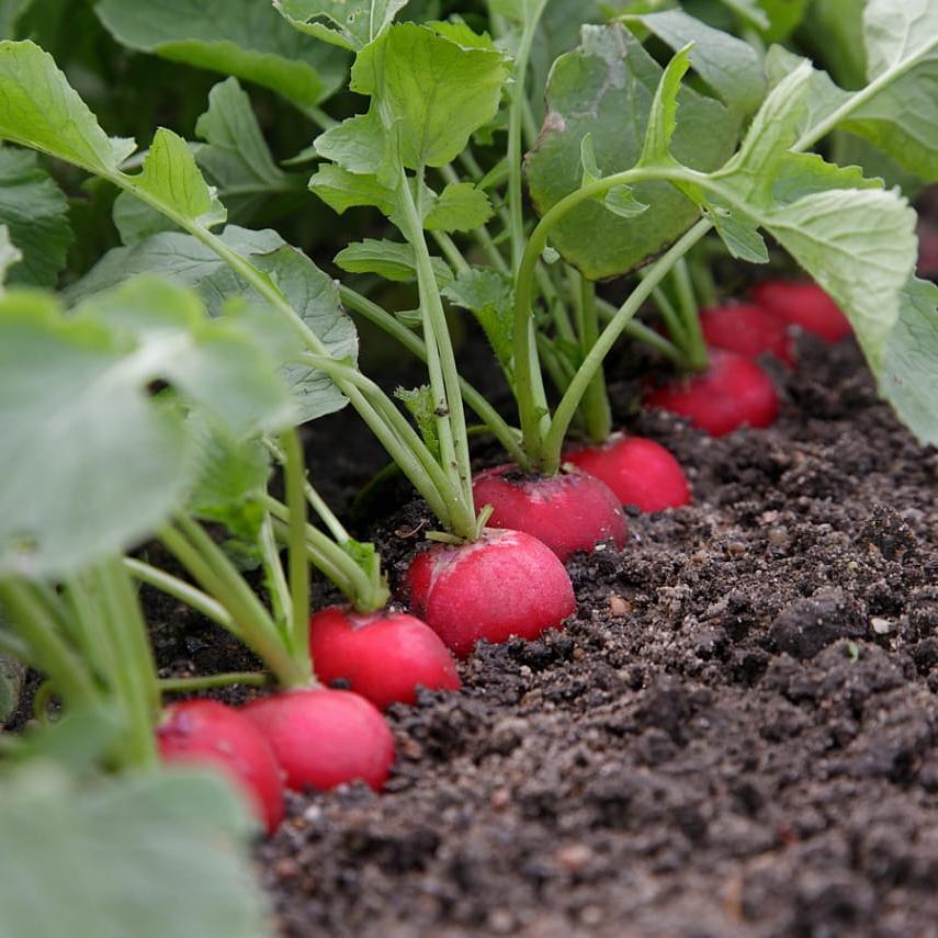 Выращивание редиса в теплице зимой: посадка и уход, особенности, сорта, урожайность