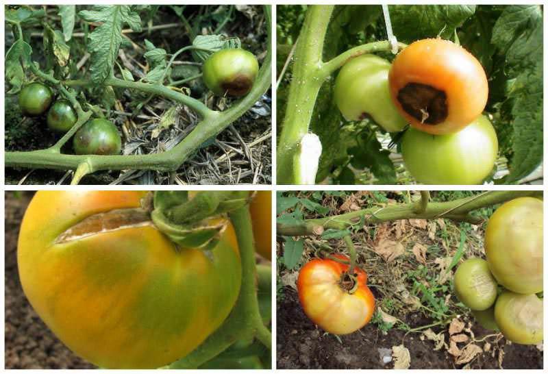 Почему у томатов чернеют кончики плодов причины, лечение, профилактика