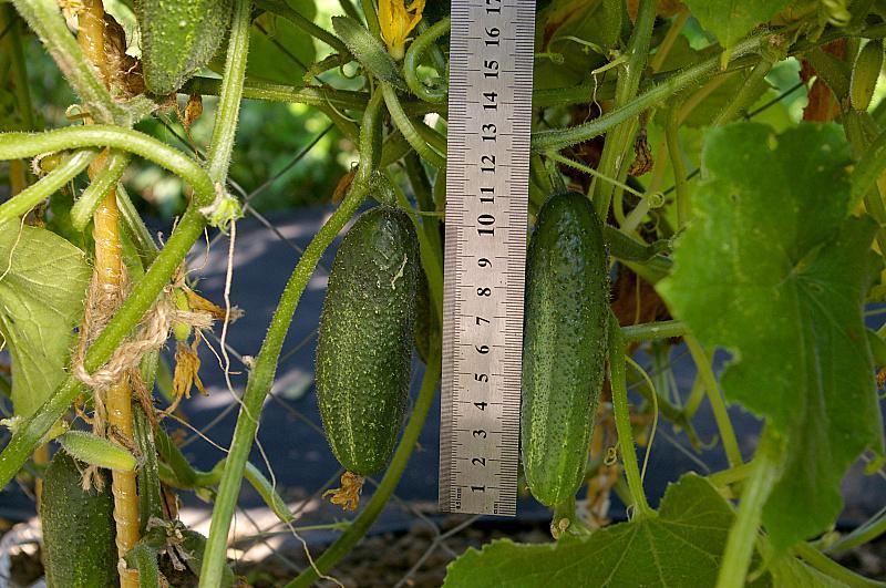 Огурец отелло f1: описание сорта с фото, отзывы о семенах и урожае