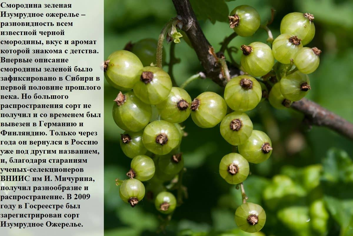 Зеленоплодная смородина. сорта, выращивание, фото — ботаничка.ru