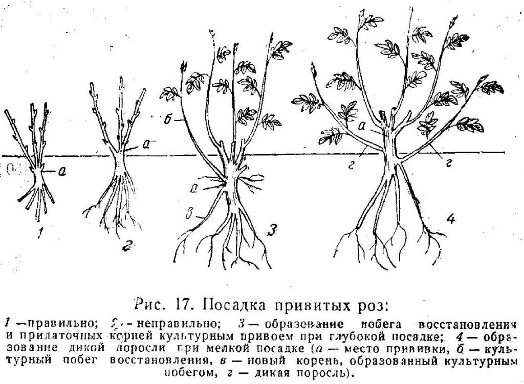 Плетистая роза: посадка и уход в открытом грунте. фото и видео