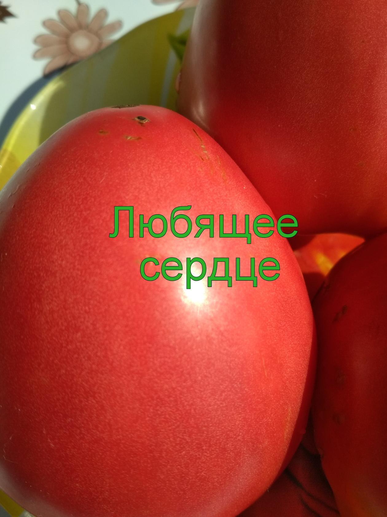 """Томат любящее сердце красное - описание сорта, урожайность, фото и отзывы садоводов - журнал """"совхозик"""""""
