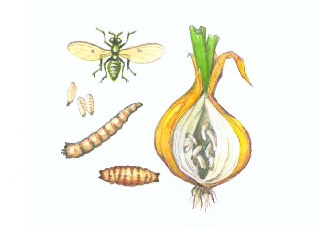 Луковая муха: как с ней бороться, лечение народными средствами и препаратами