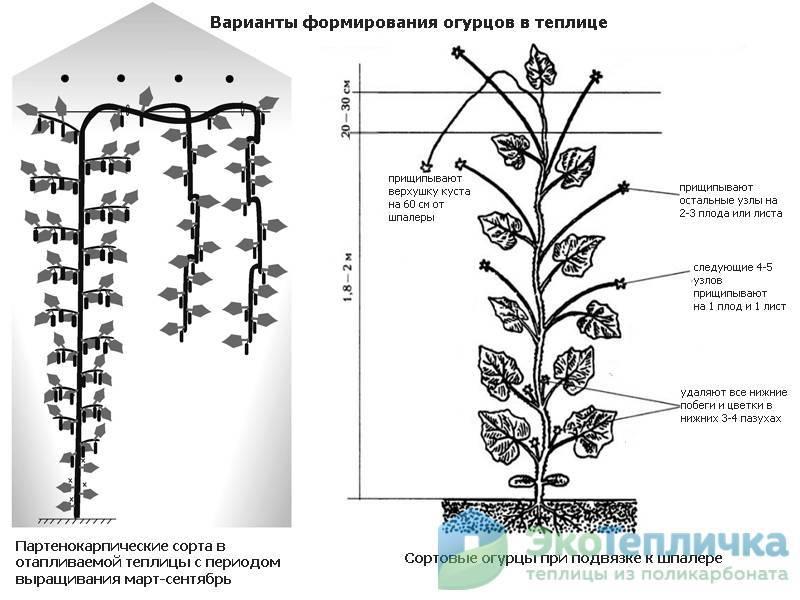 Как пасынковать огурцы - пошаговое описание правильного пасынкования в открытом грунте и в теплице (120 фото)