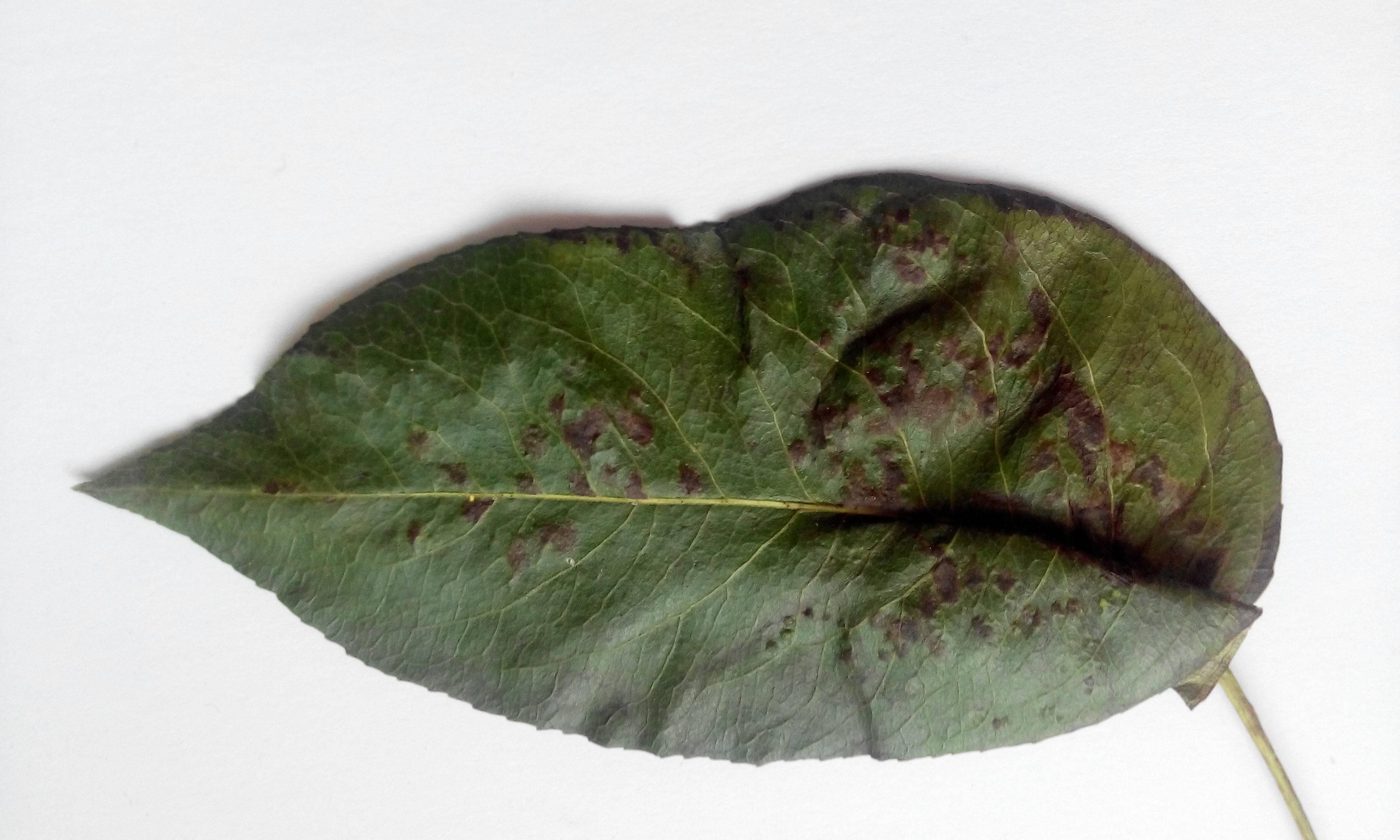 Галловый клещ - меры борьбы на груше, как бороться весной, летом и осенью, средства и методы