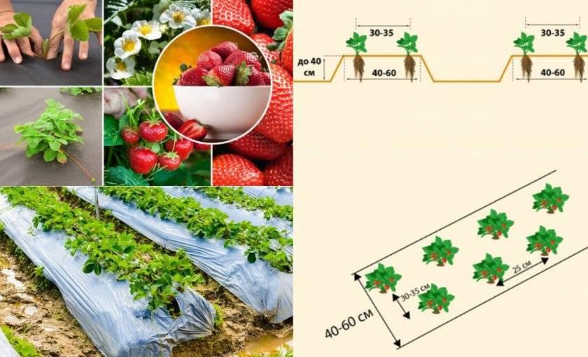 Финская технология выращивания клубники на высоких грядках, посадка и уход